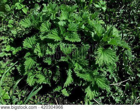 Iuvenes Viridis Urticae Dioecious Parva Rubum In Natura