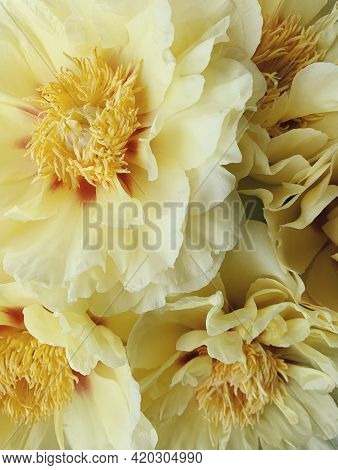 Beautiful Fresh Yellow Garden Treasure Peony Flowers In Full Bloom, Close Up. Floral Spring Summer T