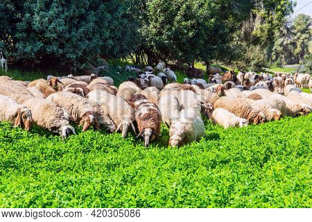 Large flock of sheep and rams grazing in the meadow. Warm sunny february day in Israel. Spring green world. Wide green meadow with lush tall grass.