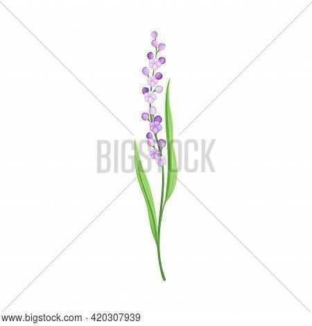 Tall Stem Or Stalk With Violet Floret And Green Leaf Blade Vector Illustration