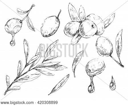 Set Of Different Olive Berries, Leaves And Branches In Sketchy Vintage Style