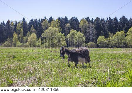 Goat Grazes In The Meadow