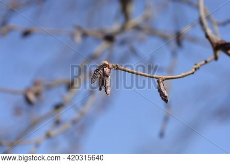 Common Hazel Branch With New Leaves - Latin Name - Corylus Avellana