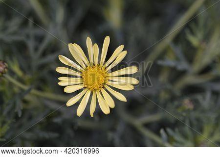 Pale Yellow Marguerite Daisy - Latin Name - Argyranthemum Frutescens