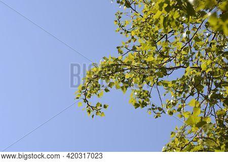 Lombardy Poplar Branches Against Blue Sky - Latin Name - Populus Nigraa Var. Italica