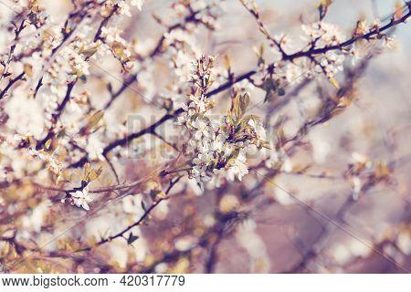 Midland Hawthorn (crataegus Laevigata), White Flowering Tree In Springtime, Europe, Springtime Backg
