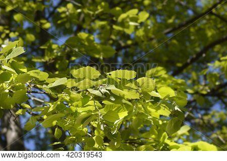 Broad-leaved Lime Leaves - Latin Name - Tilia Platyphyllos