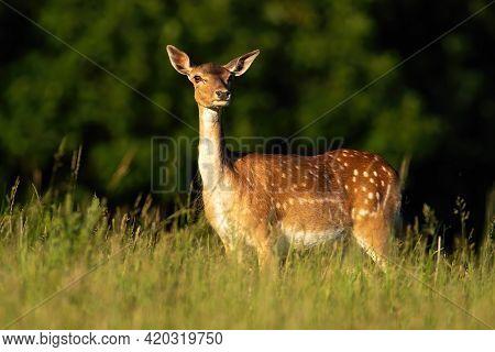 Fallow Deer Hind Standing On Meadow In Summer Evening Sun