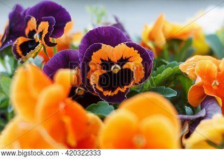 Geranium Odorata Multicolored Orange And Purpl Field Of Flowering Summer Flowers