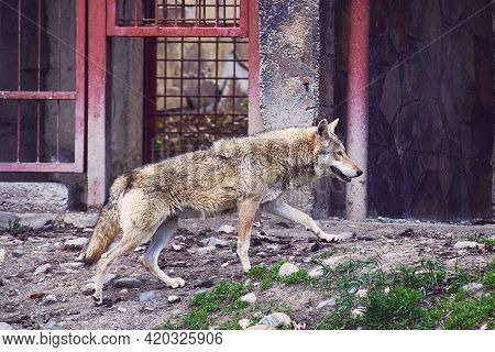 A Wild Wolf Walks Around The Enclosure. Nature Reserve. Close-up