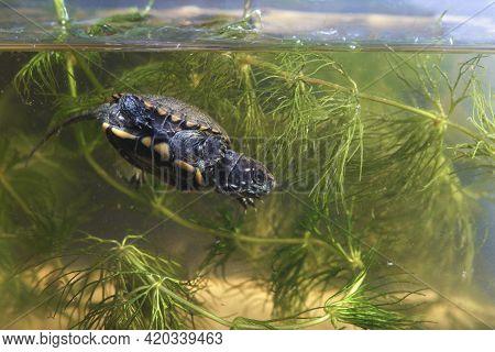 Baby European Pond Terrapin, Emys Orbicularis Dives Into The Pond