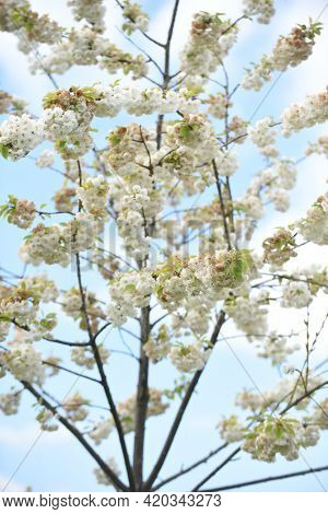 Beautiful White Cherry Blossom Grows On A Tree With Blue Sky Background