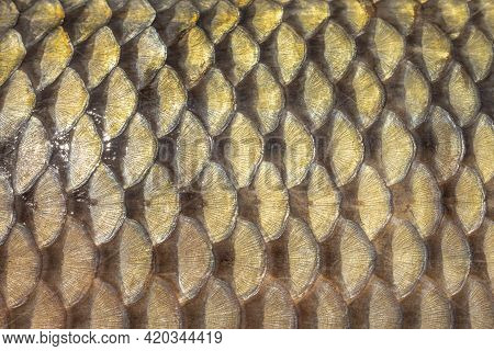 Golden Scales Of A Freshly Caught Carp, Mirror Carp, Scales Of A Large River Fish Close-up, Fish Ski