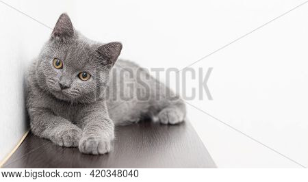 A Grey Smoky Furry British Cat Looks At The Camera On A White Background With Space For Text. The Co