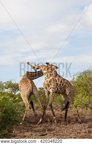 Pair Of Adult Male Giraffes Fighting For Dominance In Kruger National Park, South Africa