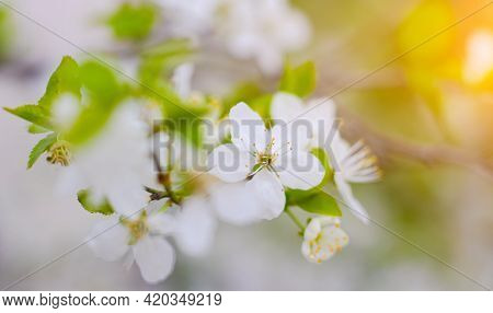 Beautiful Branch Of A Blossoming Cherry. Floral Background. Spring Flowers. An Article About Floweri