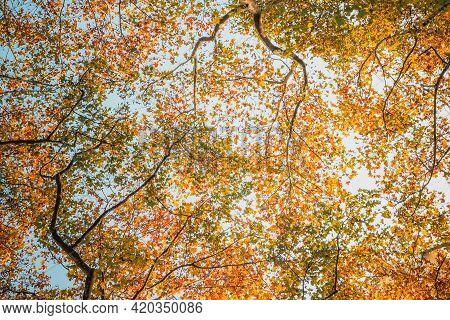 Maple Branch Tree Turn In Yellow Orange, Red On Sky Background In Autumn Season. Maple Orange Leaves