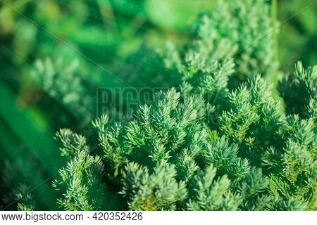 Creeping Juniper Green Leaf And Light At Day