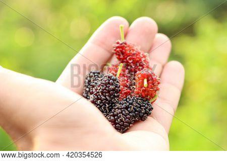 Morus Alba Linn Fruit Are Growing Up