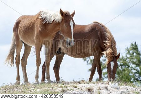 The Close View Of A Napping Horse And The Eating Horse In The Wilderness On Grand Turk Island (turks