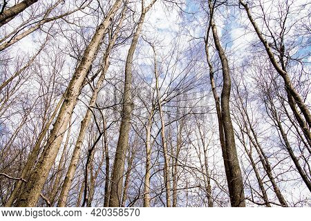 No Foliage On Trees In Spring Forest With Sky Background