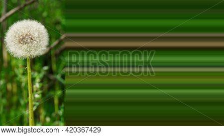 Fluffy White Dandelion. Dandelion Seeds. White Dandelion On A Green Background. White Dandelion Wall
