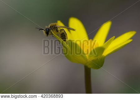 A European Or Western Honey Bee Sits On A Yellow Flower, Ficaria Verna. Bee Collects Nectar On Yello