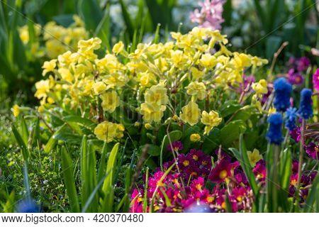 Flowering Of Daisies. Oxeye Daisy, Leucanthemum Vulgare, Daisies, Dox-eye, Common Daisy, Dog Daisy,