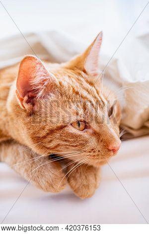 Cute Ginger Cat Sleeps On White Bed Under The Duvet