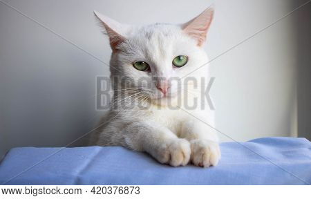 Portrait Of An Angry White Cat On A White Background.angry White Cat Looks At The Camera.