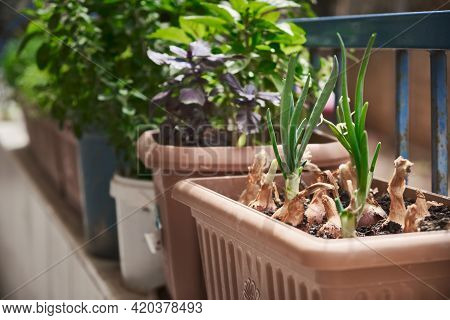 Sprouted Onions, Basil And Other Greenery Grow In A Flower Pot. Garden On The Balcony. Growing Seaso
