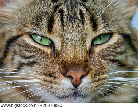 Closeup Portrait Of Cute Tabby Cat With Whiskers Ecuador.