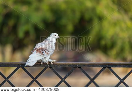 Beautiful Colorful Ornamental Pigeon Sitting On A Metal Fence.