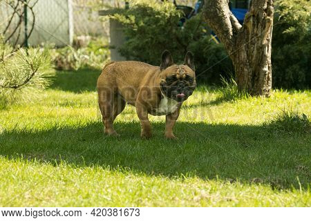 A Cute Fawn French Bulldog Running On The Green Grass. French Bulldogs Are Dog Companions.