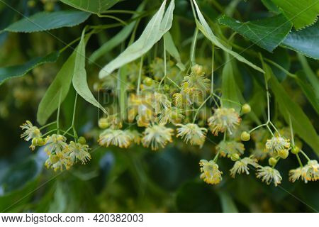 Blossoming Linden Branch In June Day. Linden Flowers Background. Soft Focus.