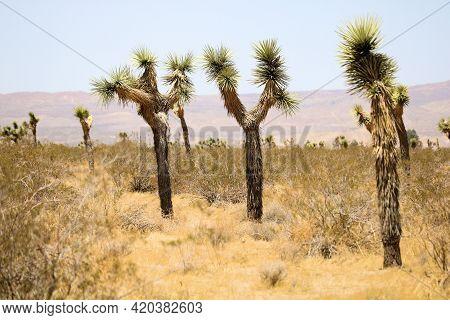 Joshua Trees On An Arid High Desert Plateau Taken At The Rural Mojave Deseert In Hesperia, Ca