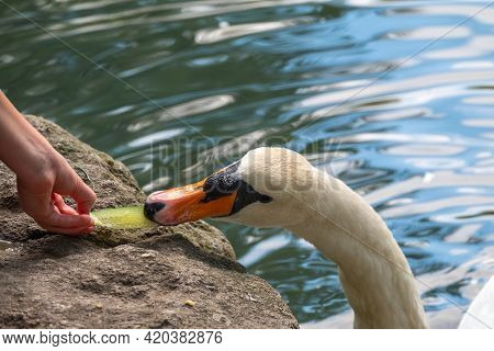 Girl Feeding A Mute Swan In A Lake From Hand. Mute Swan Near The Lake Shore. Birds Are Not Afraid Of