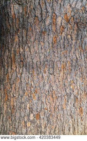 The Bark Of Cedrus Libani, The Cedar Of Lebanon Or Lebanese Cedar. Bark Texture And Background Of A