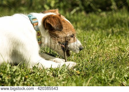 Cute Jack Russell Terrier Playing On Green Grass. Terriers Are Very Friendly Dogs.