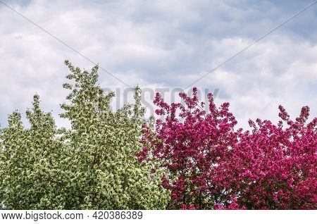 White And Pink Blossoming Apple Trees. White And Pink Apple Tree Flowers. Spring Season, Spring Colo