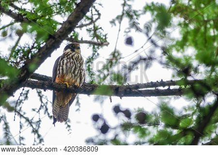 Eurasian Hobby, Falco Subbuteo, Sitting On Top Of Larch Tree. Cute Majestic Falcon Bird Of Prey In W