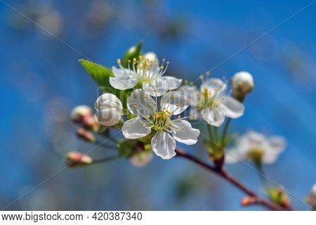 Blossoming Cherry Branch On A Blurred Background. Beautiful White Cherry Blossoms Blooming On Branch