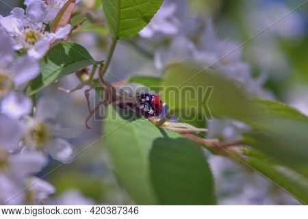 Ladybug On A Flowering Branch Of Bird Cherry On A Blurred Background.