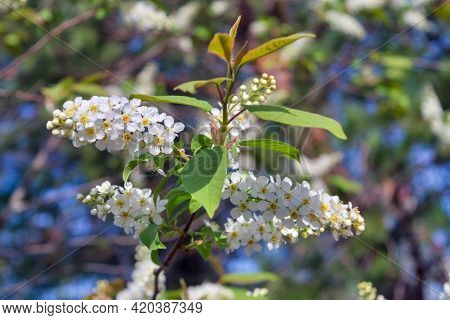 Blooming Branch Of Bird Cherry. Beautiful Blooming Branch Of Bird Cherry On A Sunny Spring Day In Th