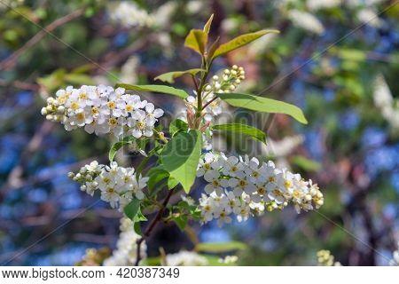 Blooming Branch Of Bird Cherry. Beautiful Blooming Branch Of Bird Cherry On A Sunny Spring Day In Th