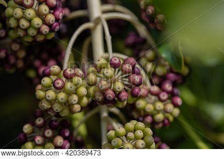 Ripe seed pods of a plant called Fatsia Japonica