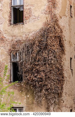 Old House In Brno. A Dry Wicker Plant Had Wrapped Itself Around The Corner Of The House. .abandoned