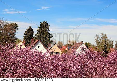 Pink Sakura Around Fliegeberg Hill In Liliental Park, South Berlin. Sea Of Pink Sakura Flowers And R