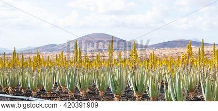 Aloe vera farm plantation Aloe vera farm plantation