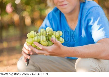 Close-up Young Man Hands With Bunch Of White Grapes. Seasonal Harvesting Ripe Grapes In Countryside